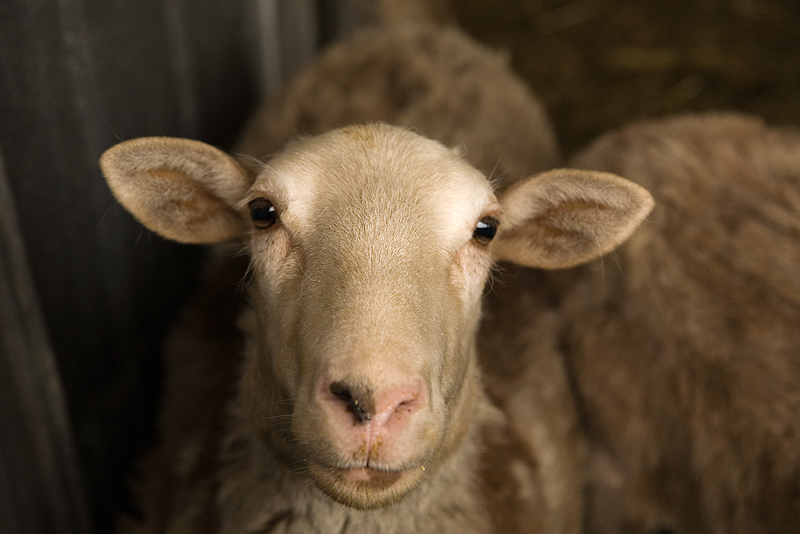 Sheep Mow Your Lawn; Goats Eat Your Weeds