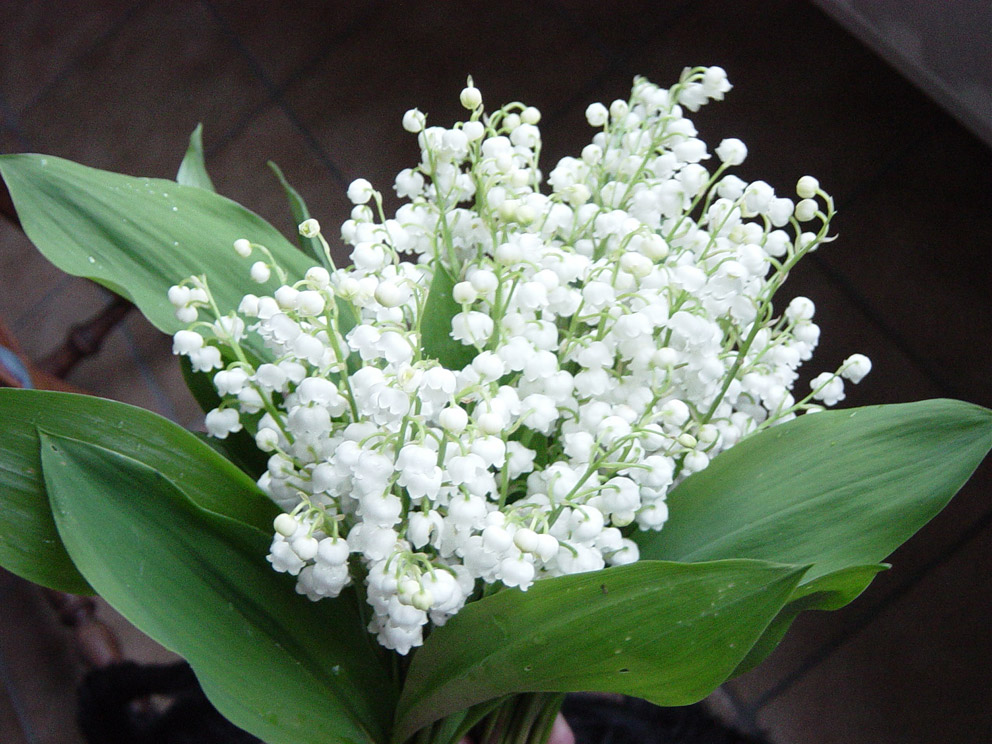 garden at heart: Muguet de mai
