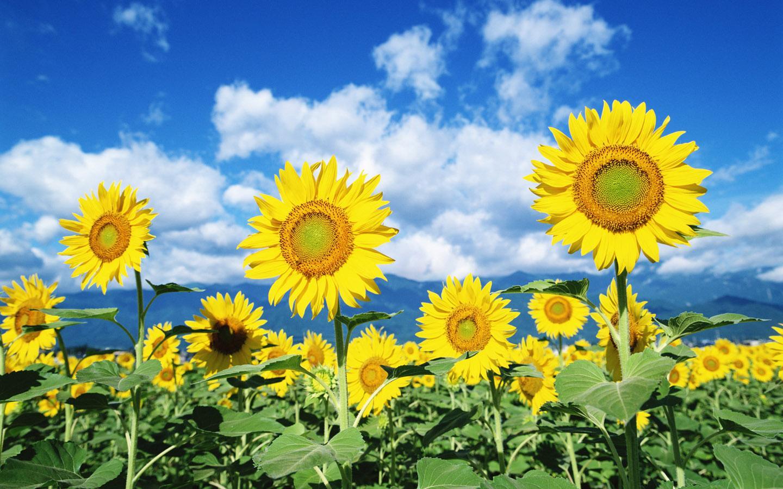 Wow Bunga Matahari Bisa Bikin Bahagia