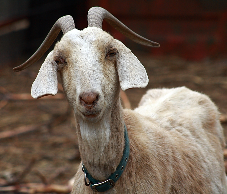 goats are typically found in more barren landscapes and many