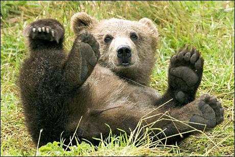 [http://3.bp.blogspot.com/_W90V87w3sr8/TSdKsMMbdsI/AAAAAAAAAmY/DZq_8pArw2g/s1600/brown_bear_3.png]