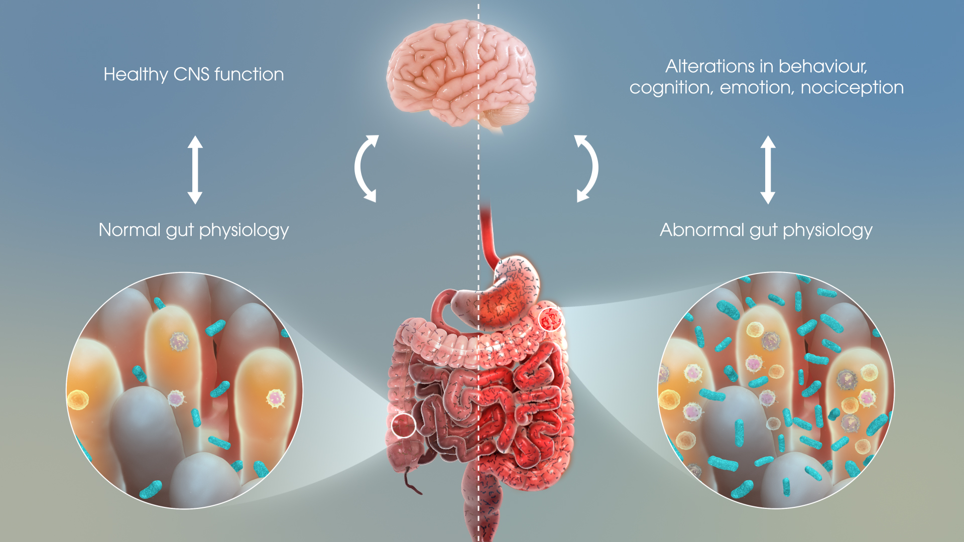 How Gut Bacteria Impact Human Emotions - Scientific Animations