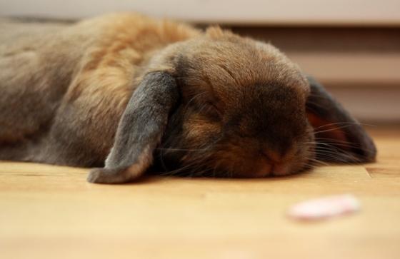 TokyoChel: Today's Random Kawaii - Sleepy Bunny is Sleepy