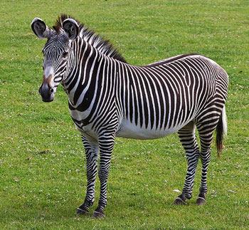 Animal Unique: Zebra