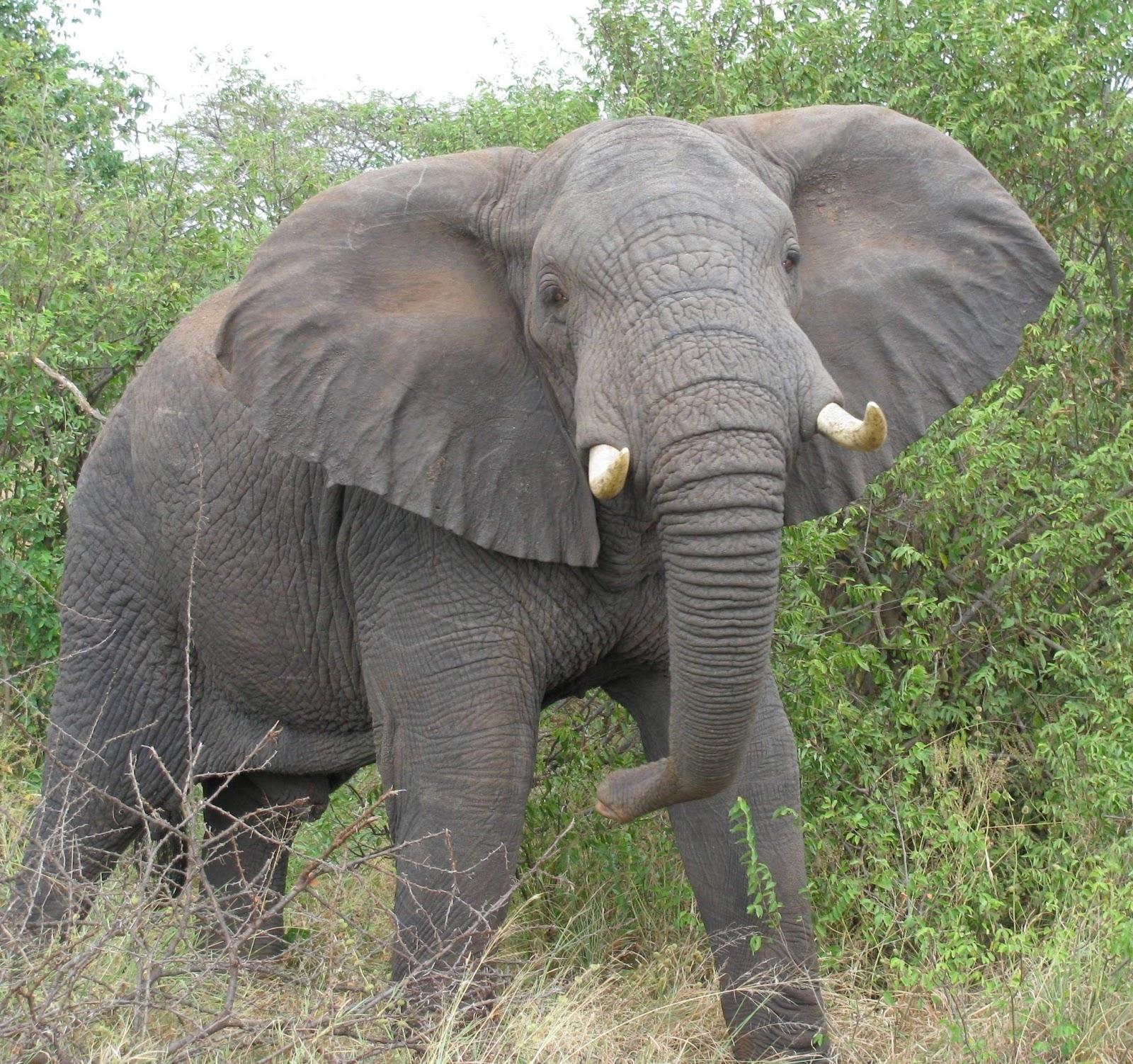 Fantastica Animal: The African Elephant