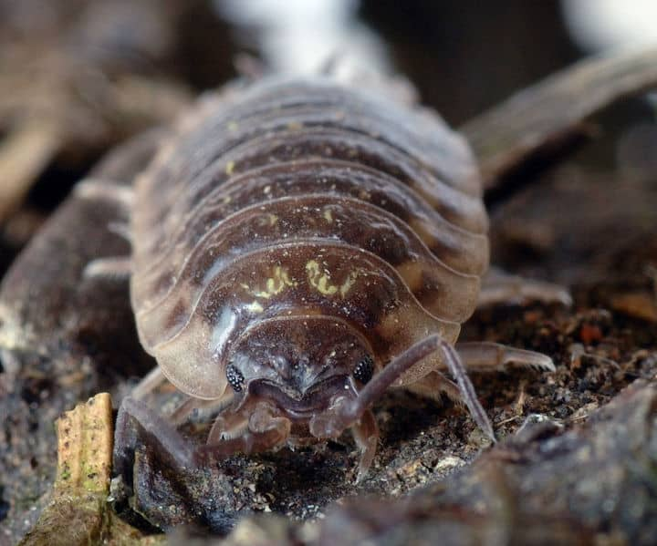 Picture 7 of 8 - Woodlouse (Oniscidea) Pictures & Images ...