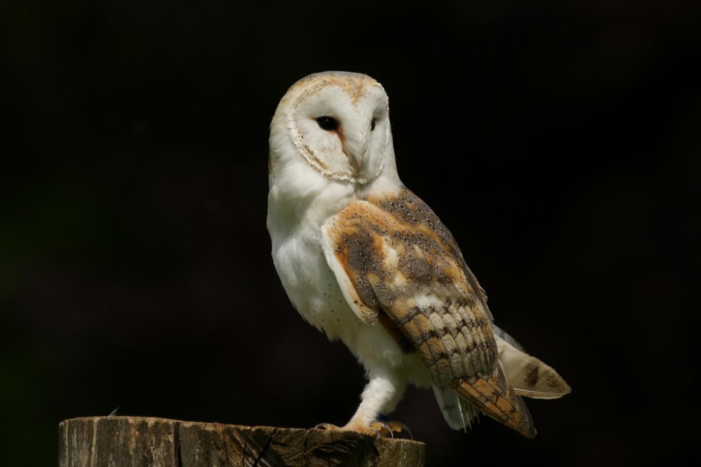 Barn Owl - Facts, Pictures, Diet, Breeding, Habitat, Behaviour ...