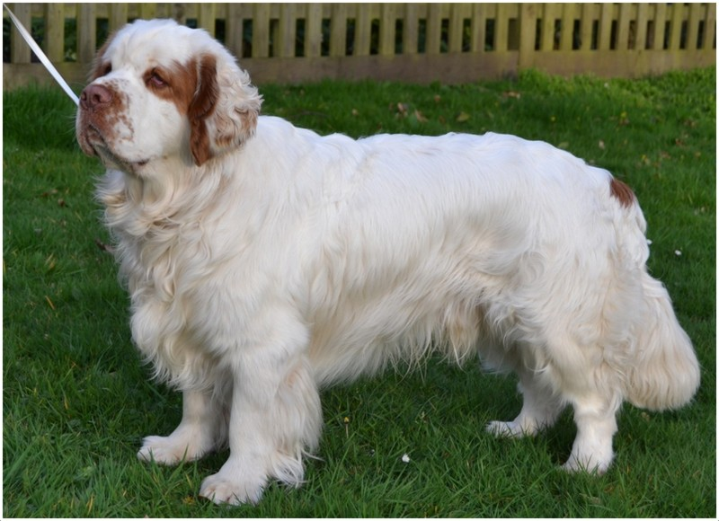 Clumber Spaniel - Puppies, Rescue, Breeders, Pictures ...