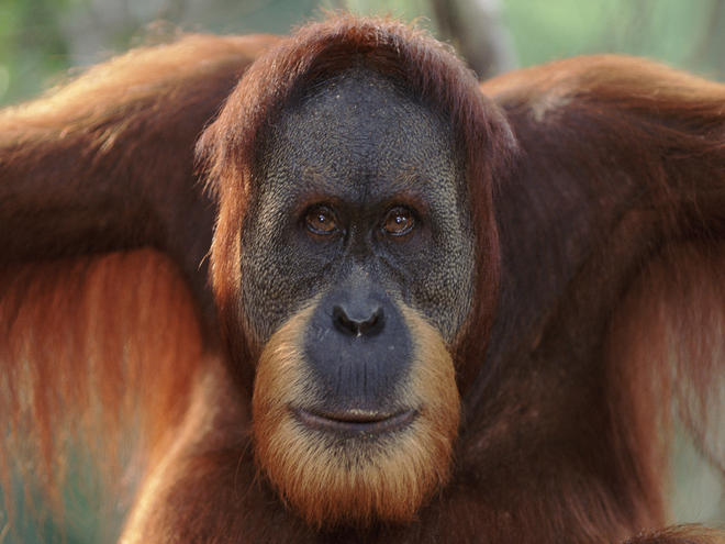 Orangutans are frugivores and play a vital role in the dispersal of ...