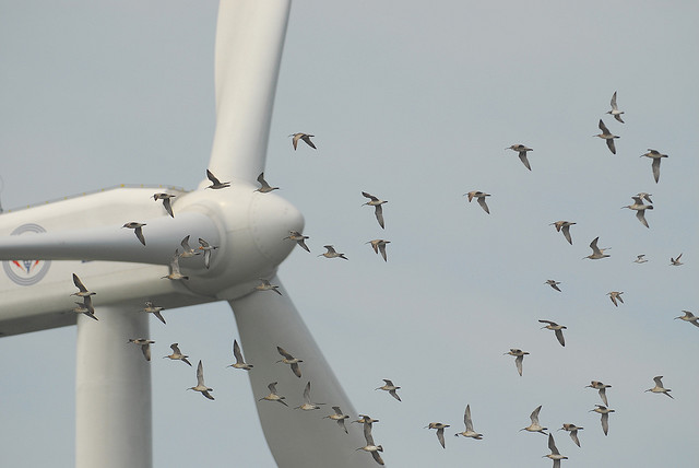 Protecting Birds from Wind Power | BirdNote