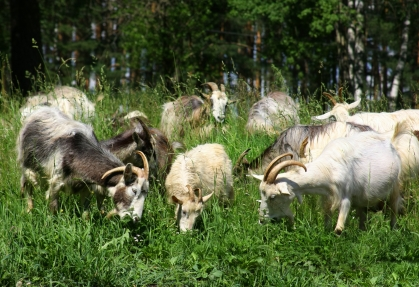 Rent Goats for Lawn Mowing | ToolzDO Company Blog