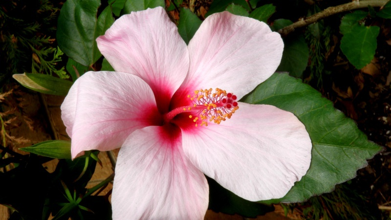 A Golden Age For Hibiscus Breeding In Hawaii. What About ...