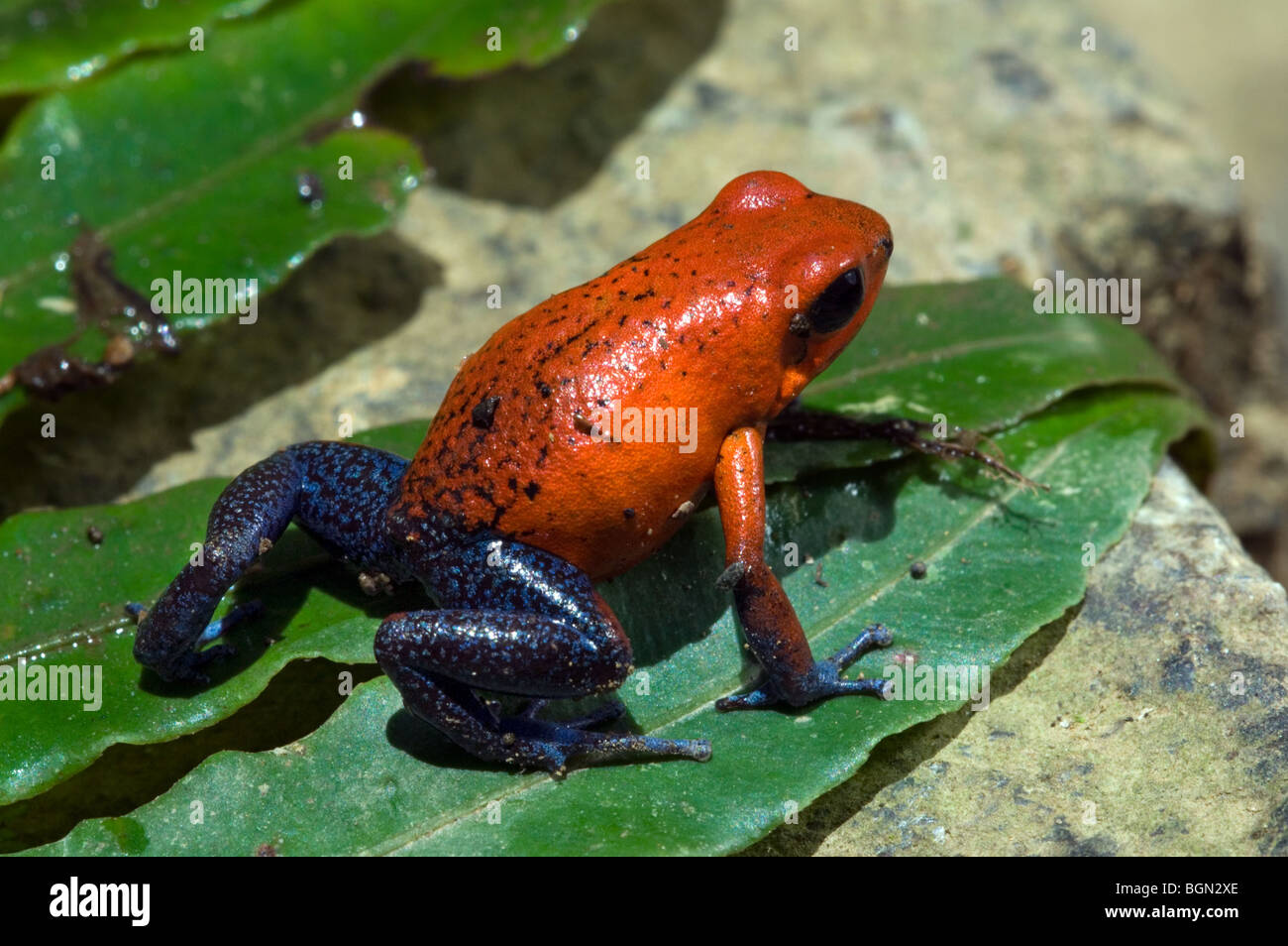 Strawberry poison frog / strawberry poison-dart frog ...