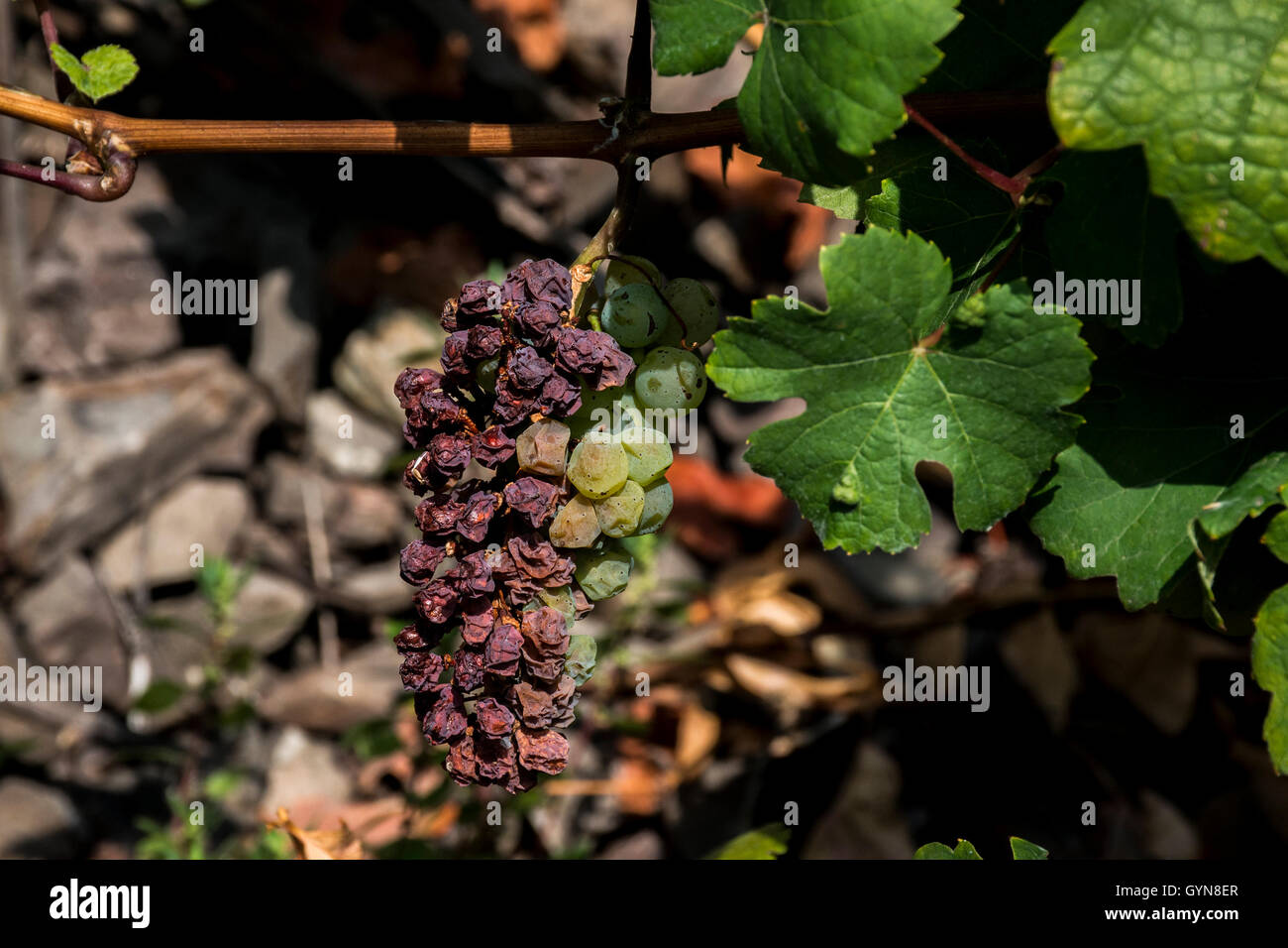 white Wine bad grapes in the german Region Moselle River ...