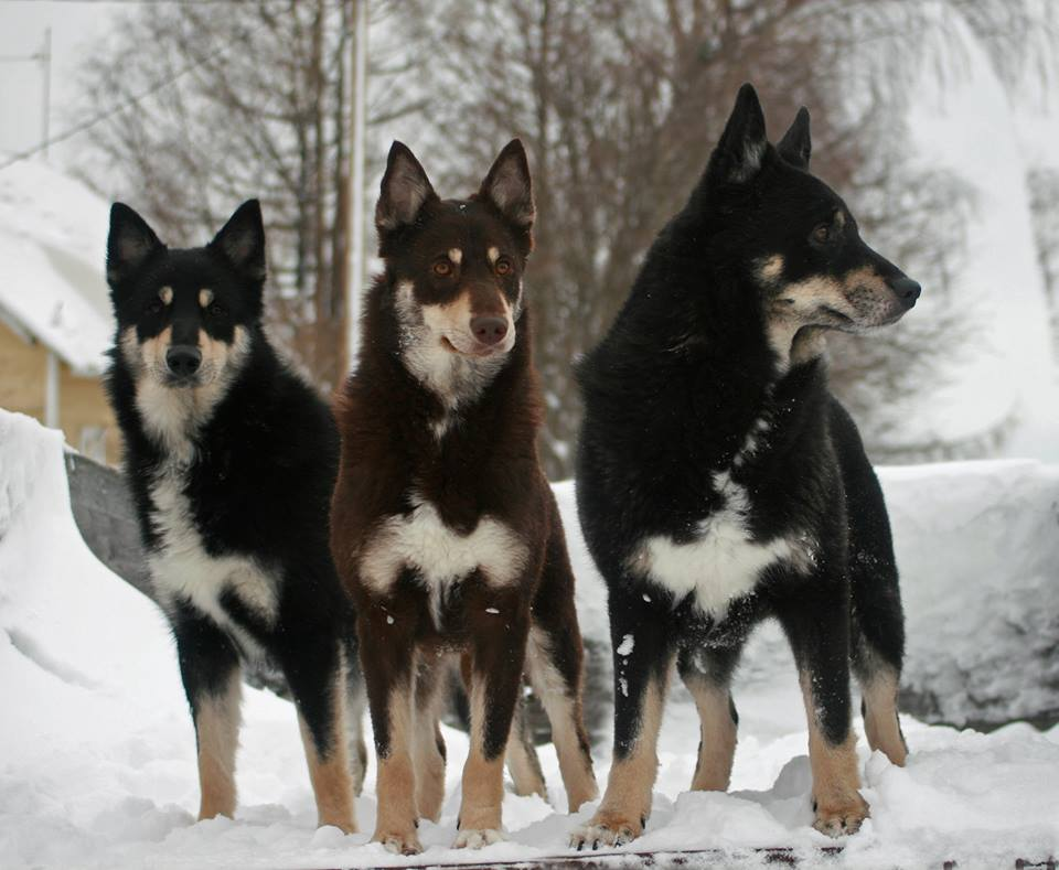 Lapponian Herder Pictures - American Kennel Club