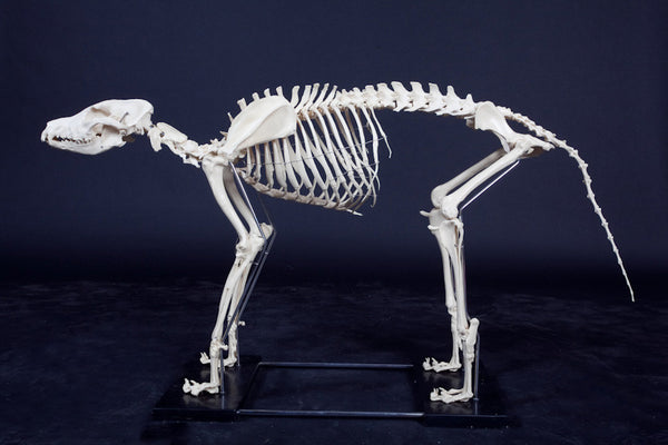 Large Dog Skeleton - Dapper Cadaver Props