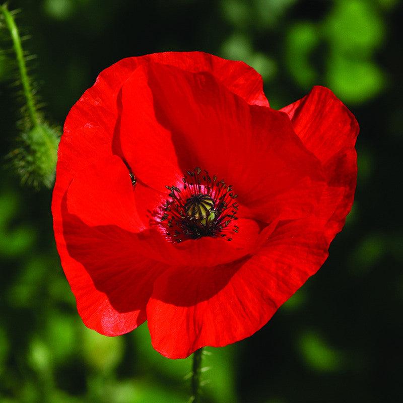 Red Poppy – Yorkshire Flower Essences