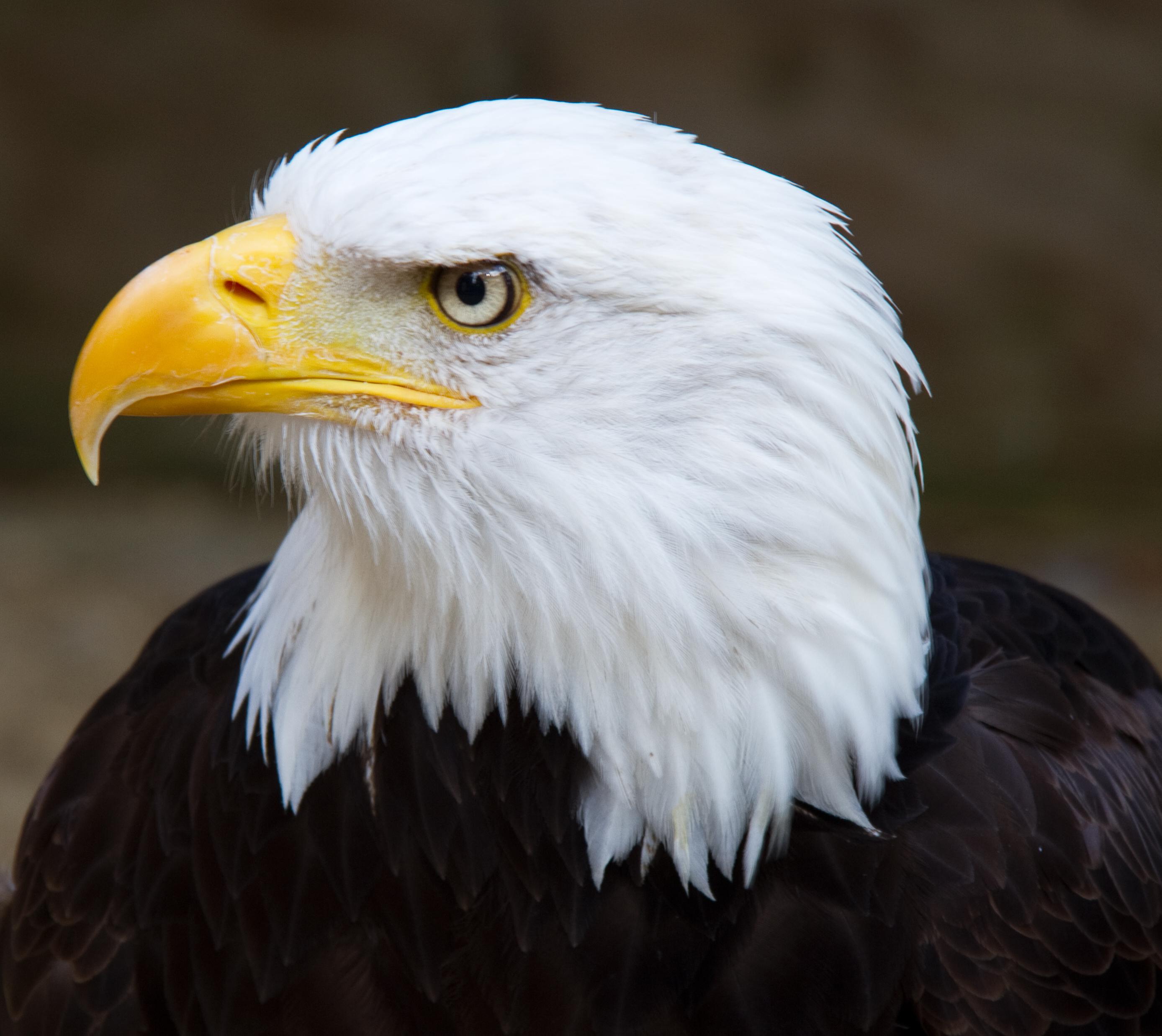 Eagle wallpaper | 2776x2476 | #84589