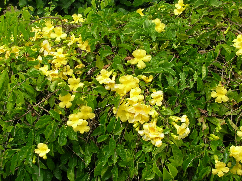 Dolichandra unguis-cati (Cat's claw vine) (Macfadyena unguis-cati)