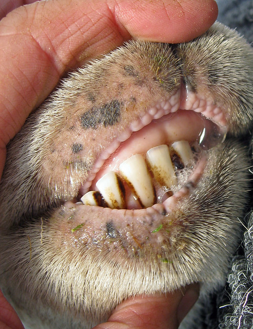 Sheep mouth | Flickr - Photo Sharing!