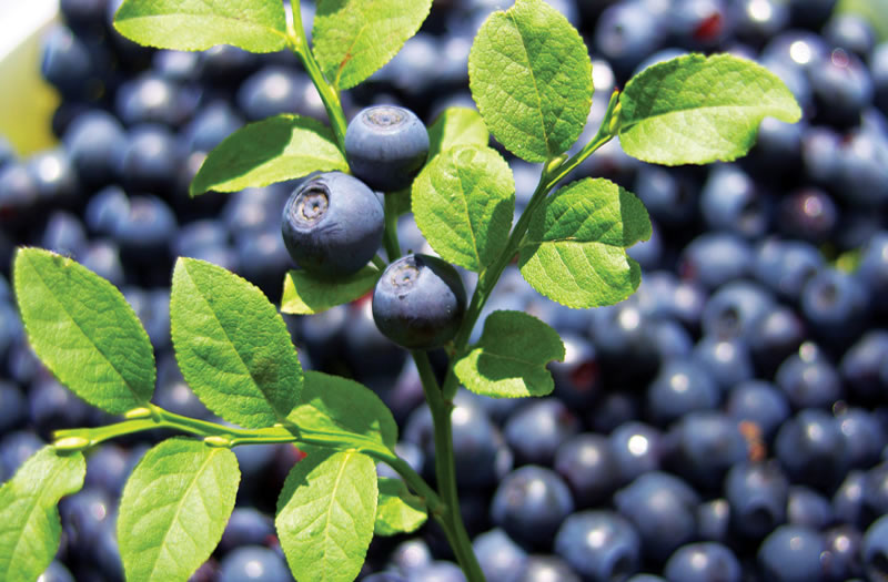 Does Bilberry Extract Improve Night Vision in Pilots? | GO ...