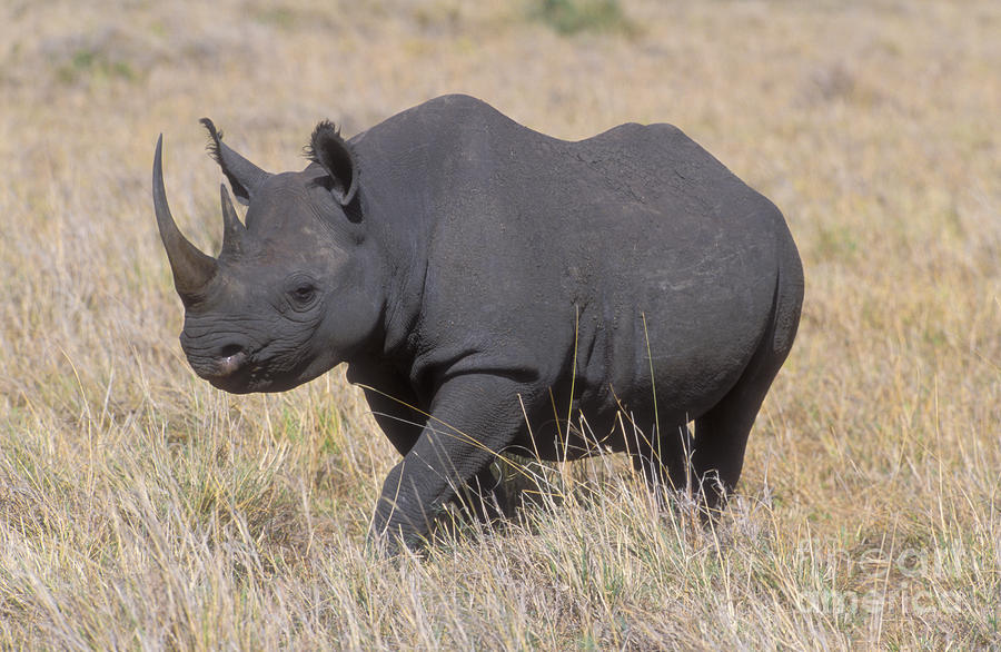 Black Rhino | Beautiful Scenery Photography