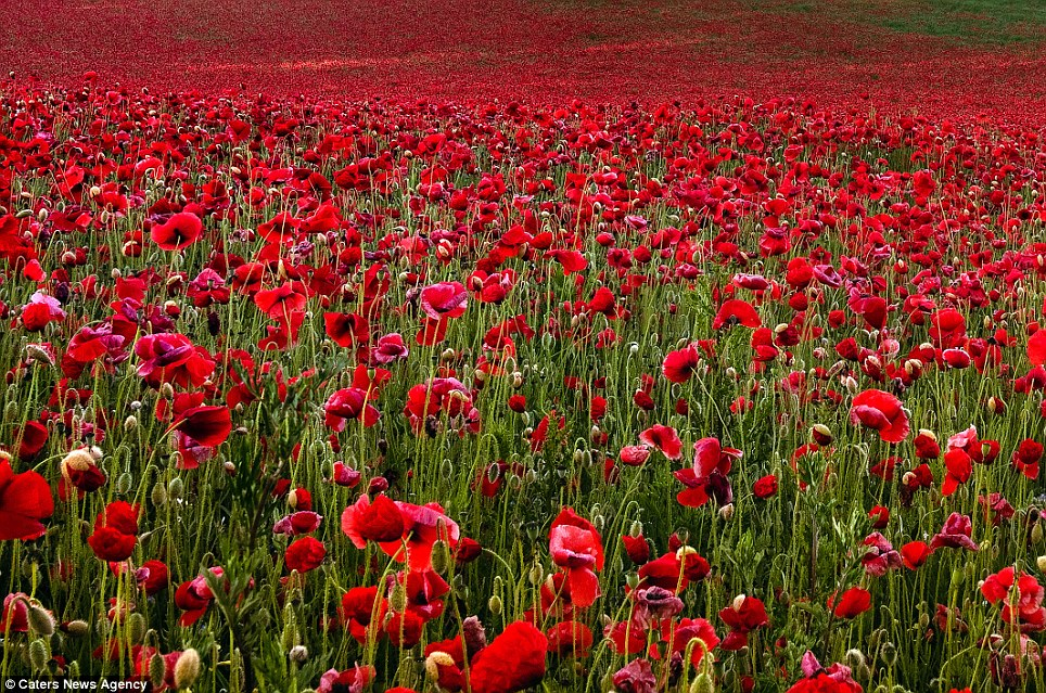 Just in time for Remembrance Day... the most beautiful ...