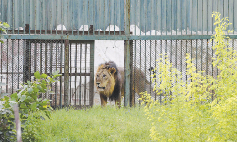 India cages Asiatic lions after fatal attacks - Newspaper - DAWN.COM