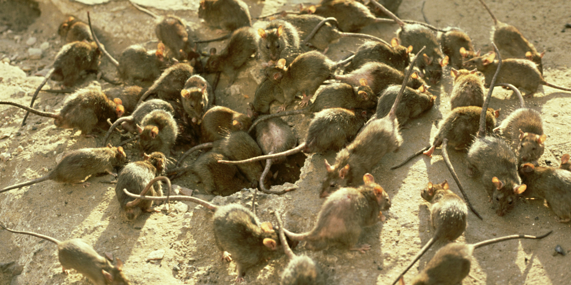 Bubonic Plague Rats Fleas O-dirty-rat-facebook.jpg