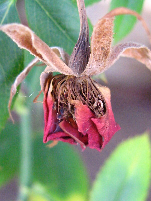 """""""Wilted flower"""" by Francesca Rizzo 