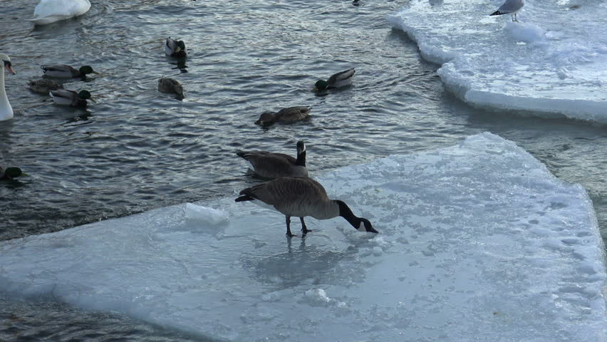 Mallard ducks and Canadian geese on the icy lake waters in winter ...