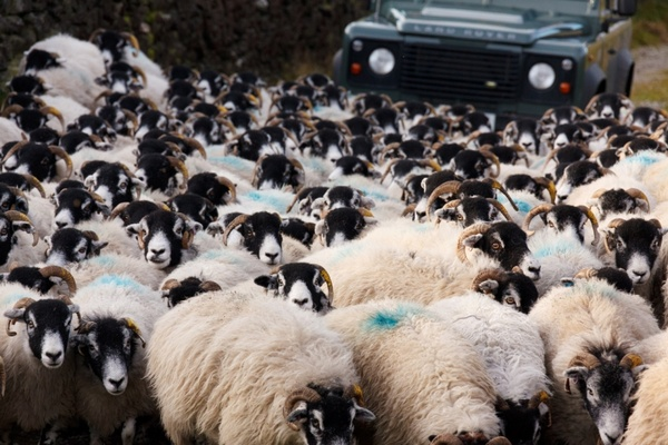 Sheep and car Free stock photos in JPEG (.jpg) 5000x3333 ...