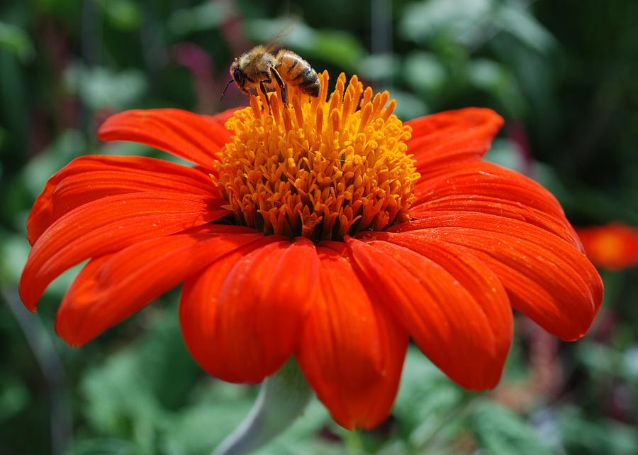 Flower Photograph - Orange Flower With Bee 1 by Lynn Loisel