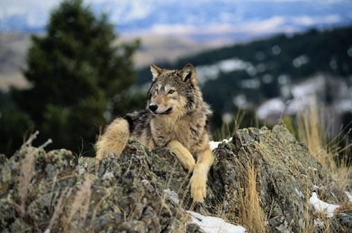 resting wolf - Wolves Photo (2907819) - Fanpop