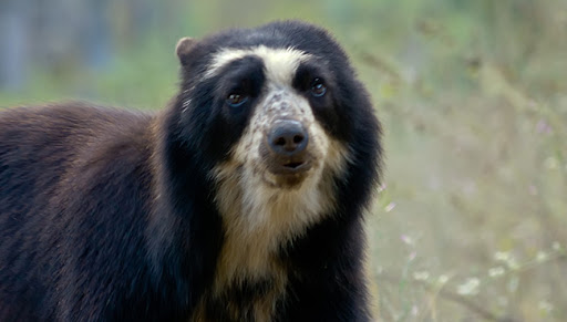Spectacled Bears Seen Near Machu Picchu