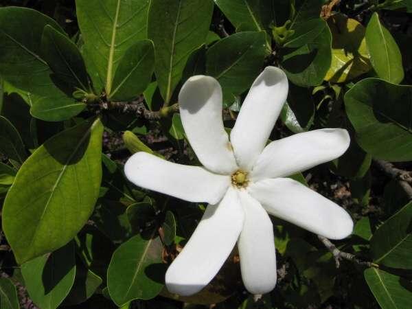 Gardenia taitensis DC. - Tahitian gardenia