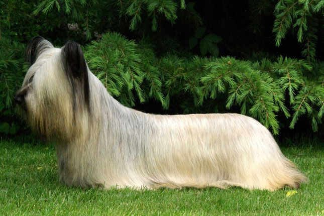 Skye Terrier | Favorite places and spaces | Pinterest