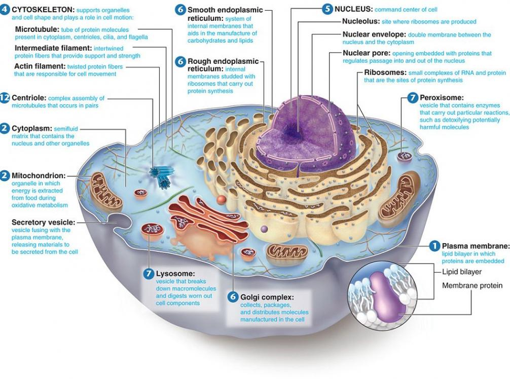 6 animal cell labeled : Biological Science Picture ...