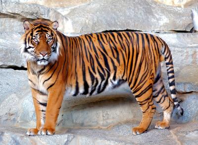 de beaux tigres