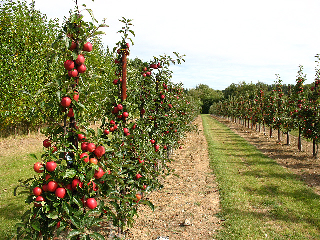 Young apple trees bearing fruit © Stephen Craven :: Geograph Britain ...