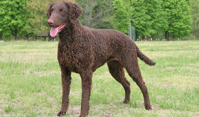 Curly-Coated Retriever Breed Information