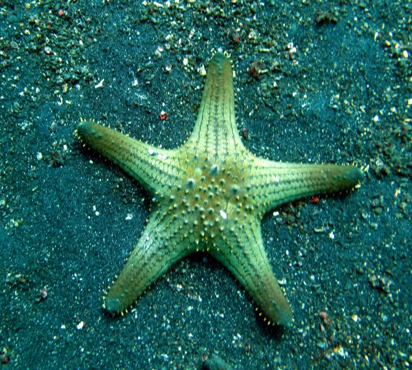 Red Tubercled Sea Star - Southeast Asia Marine Life - SEA Undersea
