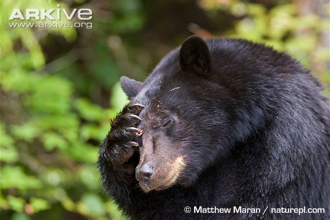 The thing is if you accidentally run into a black bear, you're ...