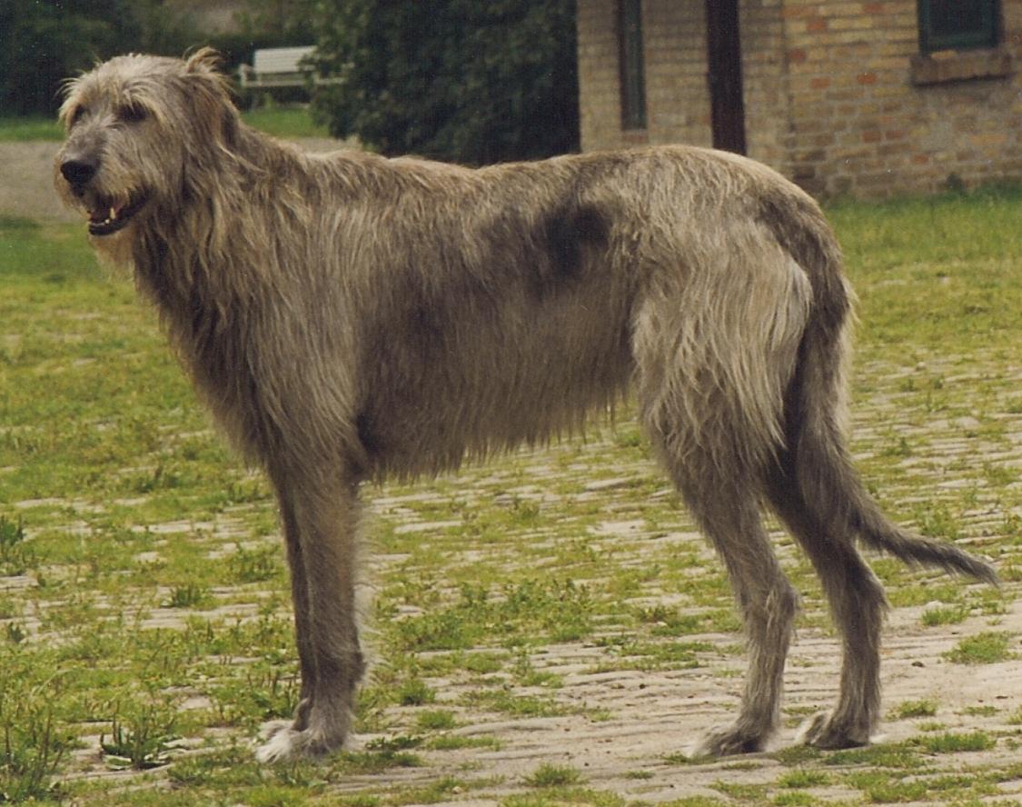 File:Irish Wolfhound Sam.jpg - Wikipedia