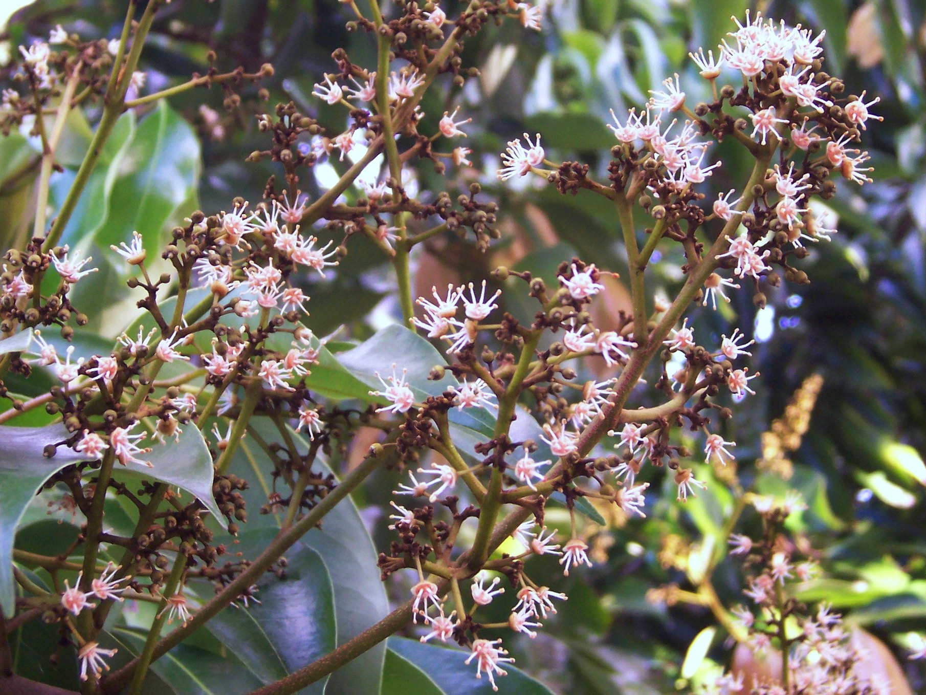 File:Litchi chinensis flowers 01.JPG - Wikipedia, the free ...