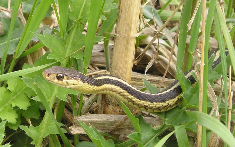 File:Garter Snake.jpg - Wikipedia