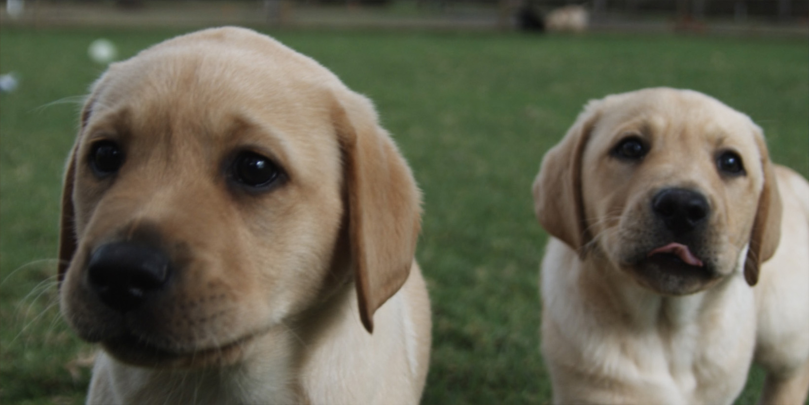 The Making of a Guide Dog – Celebrated In a New Film Series