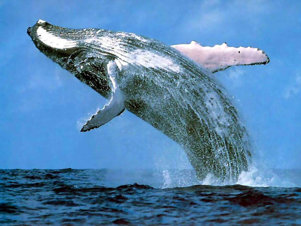 free Blue Whale wallpaper wallpapers download