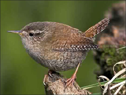 Steve Round snapped this Jenny Wren out and about in Cheshire.