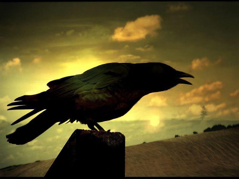 fondos de pantalla de Cuervo Negro. wallpapers de Cuervo Negro